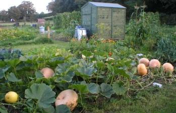 pumpkins old plot